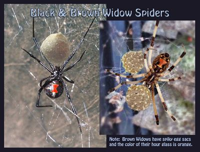 The Brown Widow and Its Pest Management identify the spiders