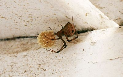 The Brown Widow and Its Pest Management White and differs mainly
